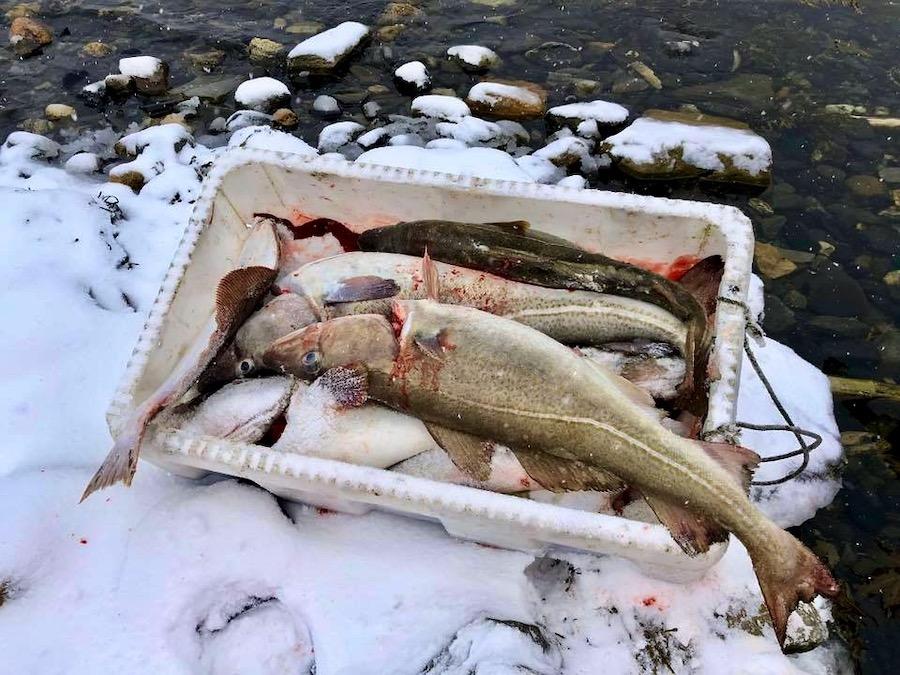 Dagens fangst. Fisk i balje.