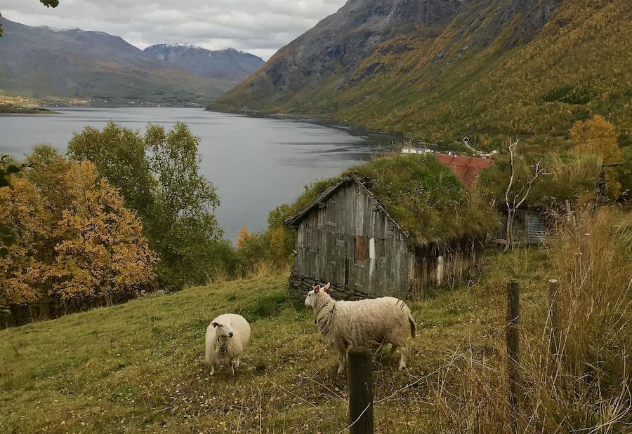 Sauer ved sommerfjøs Skardalen.